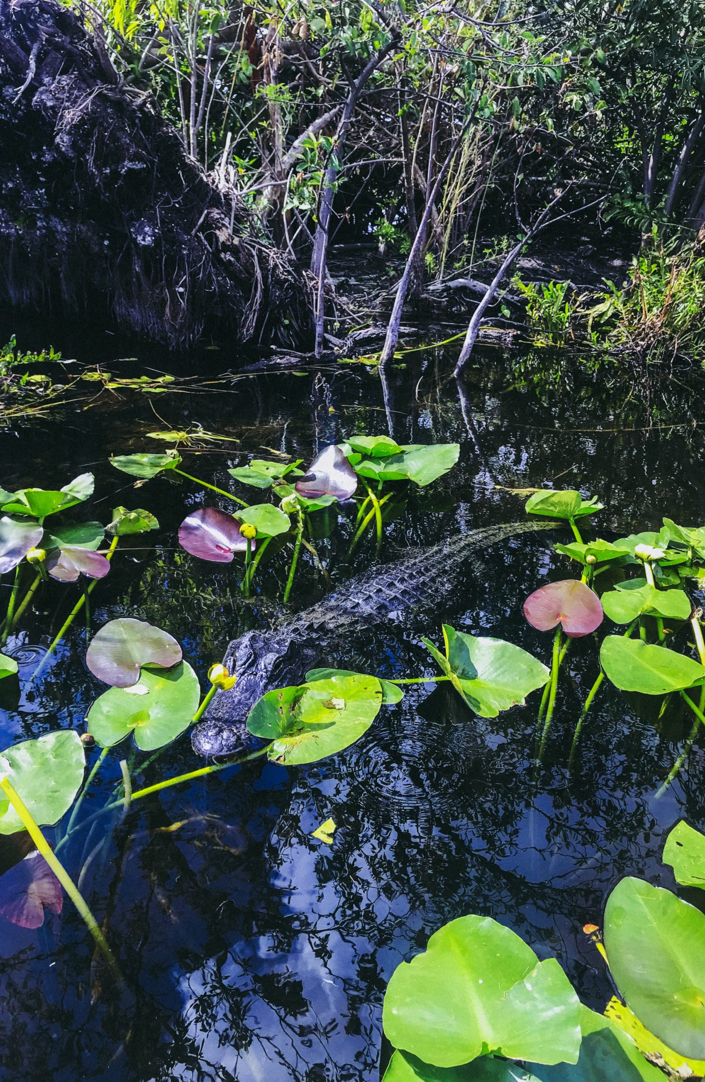 Travel Diary: Miami Mini Vacation Roundup! Everglades Alligator - thecasualfree.com