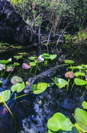 Travel Diary: Miami Mini Vacation Roundup! Everglades Alligator - thecasualfree.com
